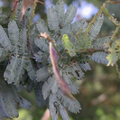 Purple leaved Mimosa